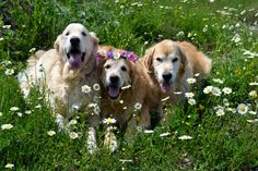Golden's and Daisies ..Ben, Brie and Ty