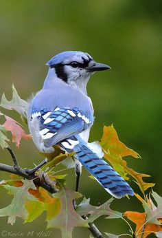 Most current Images pet birds blue jay Suggestions : It truly is no real shock that many potential chicken owners need a hen that's friendly, soft, plus well-suited to like a companion pet. Cute Birds, Pretty Birds, Most Beautiful Birds, Animals Beautiful, Exotic Birds, Colorful Birds, Rare Animals, Animals And Pets, Parus Major