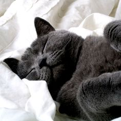 Learn everything about Russian Blue Cats. Find all Russian Blue Cat Breed Information, pictures of Russian Blue Cats, training, photos and care tips. Grey Cat Wallpaper, Cool Cats, Gato Anime, Gatos Cool, Animal Gato, Super Cat, Sleepy Cat, Cat Sleeping, Sleeping Beauty