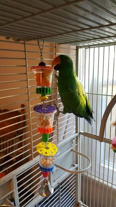 04/14/2016 8 days and he'll be 3 years old love my eclectus