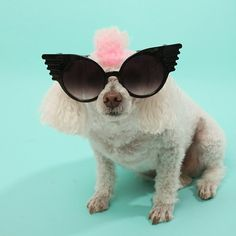 Riley is rockin' his 'Zola' shades. :) #sunglasses #petstagram #dog #poodle #mohawk #pink #shopping #sunnies #shades #picoftheday #photooftheday #retro #cateye #bleudame -- Buy them @ www.bleudame.com