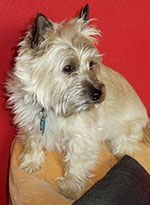 CPCRN : RENESMEE, female, 16 lbs., NY - this Cairn princess is looking for her own kingdom where she can be the only dog.  Read more at cairnrescue.com