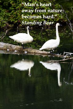 """""""Man's heart away from nature becomes hard."""" Standing Bear  -- SWANS ALONG SCENIC HAINES HIGHWAY IN ALASKA -- Learn more about this natural, scenic drive at http://www.examiner.com/article/beautiful-scenic-drive-on-alaska-and-canada-s-haines-highway"""