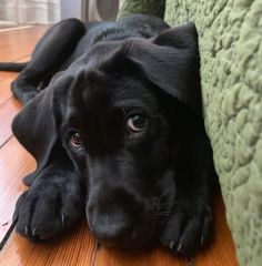 Black Lab Puppies, Cute Dogs And Puppies, I Love Dogs, Doggies, Cute Baby Animals, Animals And Pets, Funny Animals, Perro Labrador Retriever, Dog Pictures