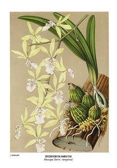 Botanical art print of Cattelya superba var. splendens orchid