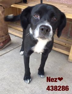 6-21-17 SAN ANTONIO, TX KILLING FOR SPACE!!!438286 Nez is such a sweet boy. He loves getting pets and giving kisses. Make this cutie your BFF! Nez is a lab blend, around 1 year old, and weighs about 40 lbs.   **PAST DEADLINE! We Need a Commitment by 5PM the Pet Picked Up by 6:30P Wednesday 6/21!* PLEASE EMAIL IF YOU CAN FOSTER, ADOPT OR RESCUE RIGHT AWAY! placement@sanantoniopetsalive.org