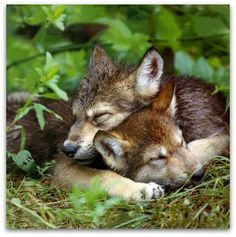 Wolf puppies. That is so cute. Please check out my website thanks. www.photopix.co.nz