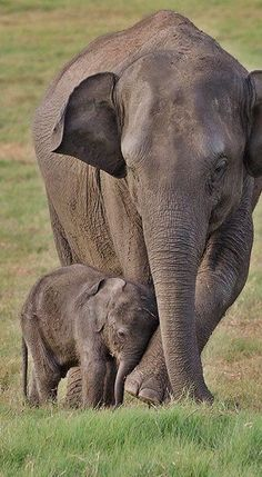 Out and about with baby elephant Mit Baby Elefant unterwegs Out and about with baby elephant , Baby, elephant Cute Baby Animals, Animals And Pets, Funny Animals, Wild Animals, Asian Elephant, Elephant Love, Mama Elephant, Mother And Baby Elephant, Mother And Baby Animals