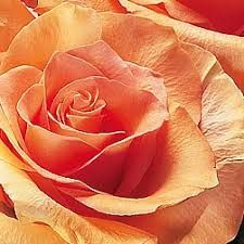 Image result for peach colored flowers