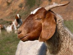 Goats, sheep go to work at Chicago's O'Hare International Airport