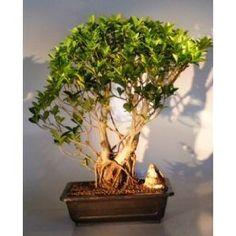 Bonsai Boy's Ficus Retusa Bonsai Tree - Banyan Style ficus retusa$325.00: www.amazon.com/Bonsai-Boys-Ficus-Retusa-Tree/dp/B004YVR432/?tag=sure9600pneun-20