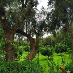 «Les plus beaux jardins de Marrakech #mamounia #hotel #palace #garden #olivetrees #green #marrakech #maroc #morocco»