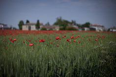 Poppies #120512