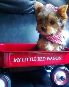 Yorkie lovin it's red wagon ride