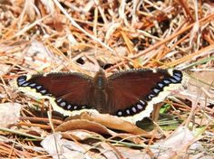 A mourning cloak butterfly seen in the Poconos on April 4