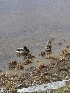 Sinisorssa ja naaras heinäsorsa  uivat järven rannalla olavilinaassa lähi luonto