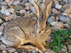 Bunny Tongue