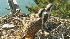 An osprey chick just took its 1st flight! The other chick should fledge soon, so stay tuned to our the osprey cam.