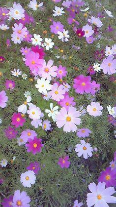 秋桜.....the beautiful cosmos