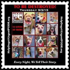 13 BEAUTIFUL LIVESTO BE DESTROYED 09/03/15 - - Please share their story and be their voice. This is a VERY HIGH KILL facility, so time is critical. YOU may be their ONLY HOPE! Click for info & Current Status: http://nycdogs.urgentpodr.org/to-be-destroyed-4915/