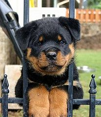 So freakin cute!!! I can't wait to Call a pup as cute as this mine. #whitepicketfence