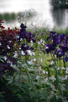 Amerikansk iris 'Hello Darkness' blommar med stora sammetsliknande blommor i juni. Läget måste vara väldränerat, torrt och soligt. Jag blandar upp min jord med grus och tillsatte lite benmjöl vid planteringen. Vattna medan den rotar sig, därefter vill den stå torrt. Den står i komposition med Trebladspira 'Gillenia trifolata' och röd perukbuske 'Cotinus 'Grace'.