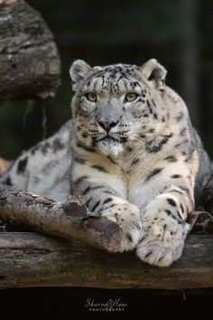 Ghost Cat, Snow Leopard, Panther, Cats, Animals, Gatos, Animales, Animaux, Panthers