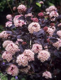 Purppuraheisiangervo - Physocarpus opulifolius ´Diabolo´