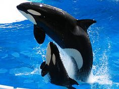 cute baby killer whale - Google Search