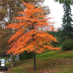 Black Tupelo (Nyssa sylvatica) - one of my favorite trees, lovely fall color - a little different shade to add to the mix