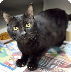 URGENT!! ACCT PHILLY: Philadelphia, PA - Domestic Shorthair. Act quickly to adopt Bullet. Pets at this Shelter may be held for only a short time. Meet Bullet, a cat for adoption. http://www.adoptapet.com/pet/11430765-philadelphia-pennsylvania-cat