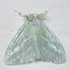 Caviria Vinasia