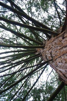 Fenyőfa alulnézetből