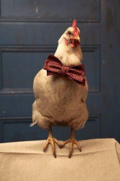 Don't be a chicken... wear a bowtie!