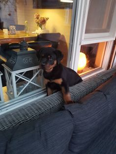 Big Dogs, I Love Dogs, Puppy Love, Baby Animals, Cute Animals, Boxer Love, Rottweiler Puppies, Good Buddy, Rottweilers