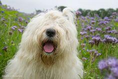 Old English Sheepdog. summer flower girl