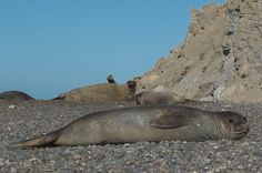 Full Day Tour to Punta Ninfas from Puerto Madryn You will meet above the cliffs which are several meters above sea level at Punta Ninfas: the home to a colony of southern elephant seals that can be seen throughout the year. On this 7-hour tour you will walk very close to them while still respecting their space, all while taking in the natural beauty of the area as well.The 7-hour tour starts with your pick up from Puerto Madryn hotels. We will then head to Punta Ninfas which ...