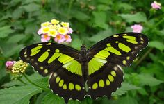 Lime Green Butterfly