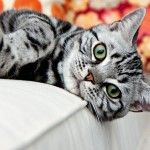 The adaptable and good-natured American Shorthair retains his hunting ability, but these days he is more likely to be a family companion. See all American Shorthair characteristics below! I Love Cats, Crazy Cats, Cute Cats, Funny Cats, American Bobtail Cat, American Shorthair Cat, Pretty Cats, Tabby Kittens, Kitty Cats