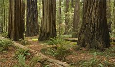 Redwood Forest Floor Redwood Forest, Forest Floor, Planets, Outdoor Living, Flooring, Landscape, Art Ideas, Image, Animal