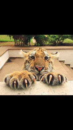 Hello..  Photo from  Black jaguar white tiger foundation.