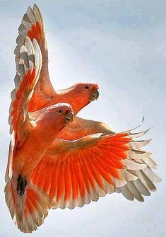 Cockatoos.
