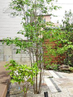 植栽 シンボルツリー 落葉樹 アオハダ