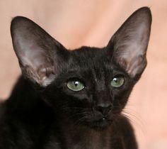 chocolate oriental cats - Google Search Oriental Cat, Short Hair Cats, Short Hair Styles, Chocolate, Google Search, Animals, World, Gatos, Bob Styles