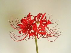 One of my favorite flowers, grew all over the place at our old house....Red Spider Lily