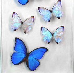 Beautiful blue butterflies kisses to you all ❤️❤️❤️ #mikayla #butterfly #YourSign #getinsync #lawofattraction #motivate