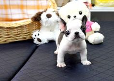 teacup french bulldog!!! so cute!!!! when i get one i will name it tiny elvis, or costello, or something that sounds macho!!