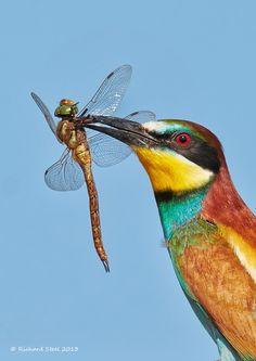 European Bee-eater - Romania © 2013 Richard Steel