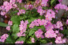 Myosotis sylvatica 'Victoria Rose' - Skov-Forglemmigej, farve: rosa, lysforhold: halvskygge, højde: 15-40 cm, blomstring: maj, selvsående, velegnet til buketter,blomstre på andet året, trives bedst i let og næringsrig jord, vandes ofte, kan sås hele året.