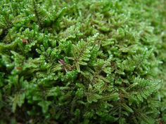 Flat Plait-moss aka Hypnum Imponens